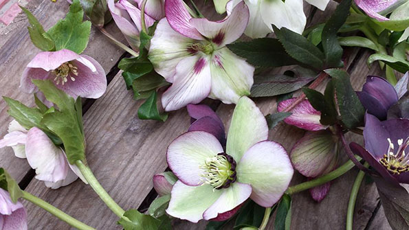 Helleborus de Sally Hambleton Workshop Flores